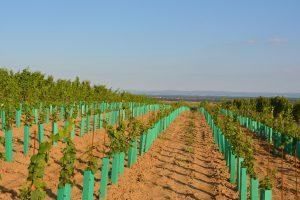 Vysázený nový vinohrad
